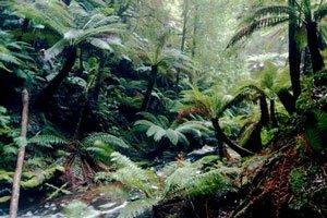 Forest in Tasmania