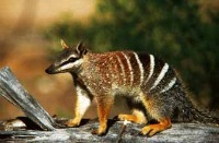 Numbat. Image Courtesy Toursim WA