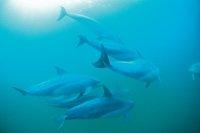 Dolphins-Rockingham. Image courtesy Tourism WA