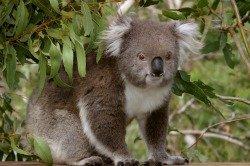 Koalas at Phillip Island