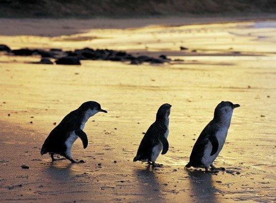 Little Penguins @ Phillip Island