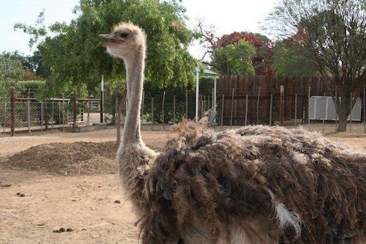 South Africa Ostrich Farm