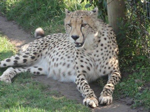 South Africa Cheetah at Tenikwa