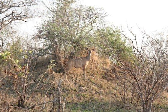 Eland Kruger 560