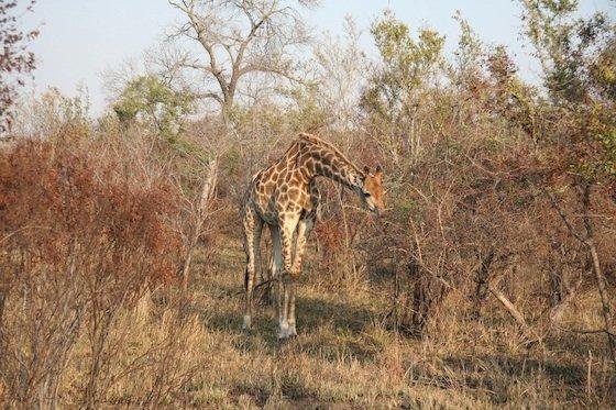 Giraffe Kruger 560