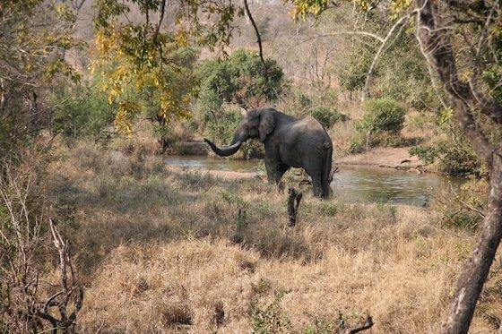 Kruger elephant 560