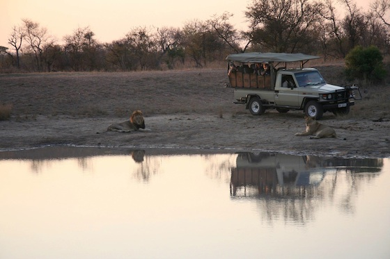 Kruger lions and jeep on safari 560