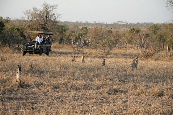 Kruger safari leopards 560