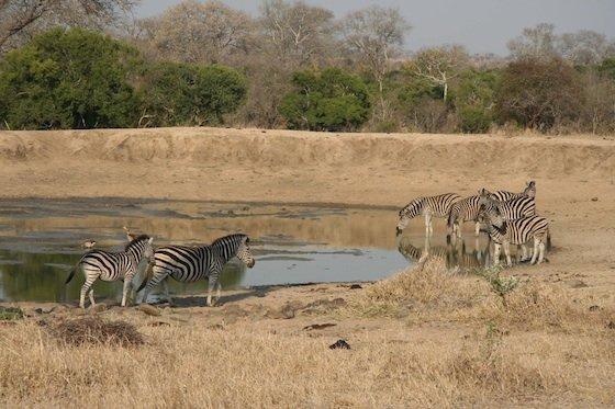 Kruger zebras 560