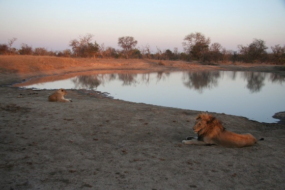 Lions by waterhole Kruger 560