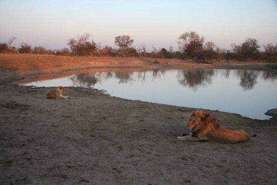 Lions by waterhole Kruger 560