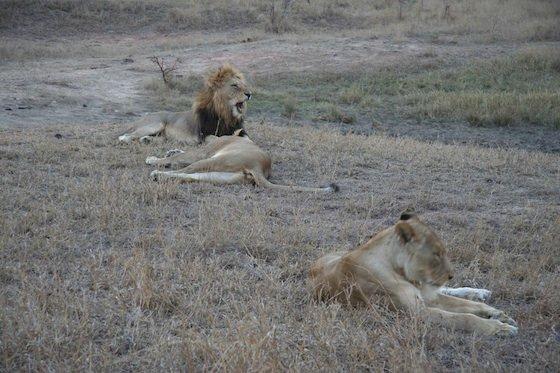Lions kruger 560