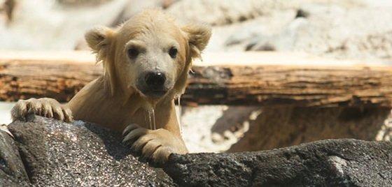 BSS4_Polar-Bear-Cub-Wet
