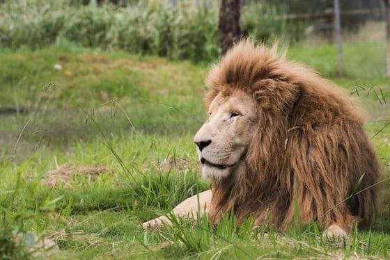 Mogo Zoo Lion Image