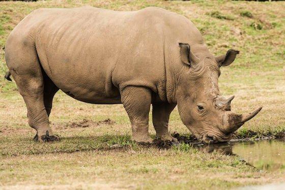 Mogo Zoo Rhino Image