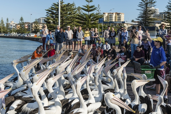 Daily Pelican Feeding at The Entrance Image: iStock