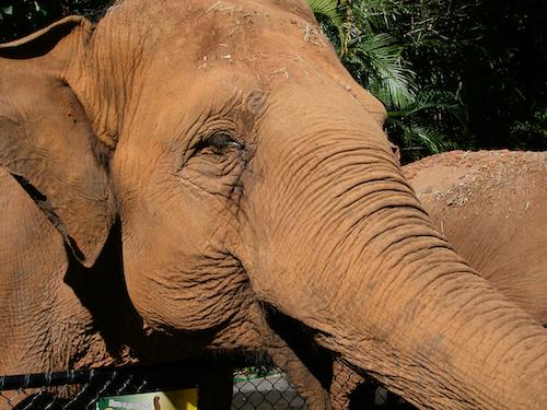 Indian Elephant ws Steve Irwin's Australia Zoo