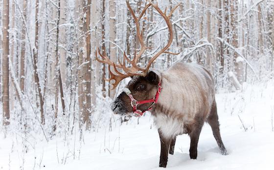 Reindeer (Running Reindeer Ranch)
