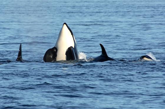 spyhop orca by Michael Bertrand