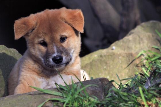 Featherdale - Dingo Pups Aug 16 - Sam Donkin Photography