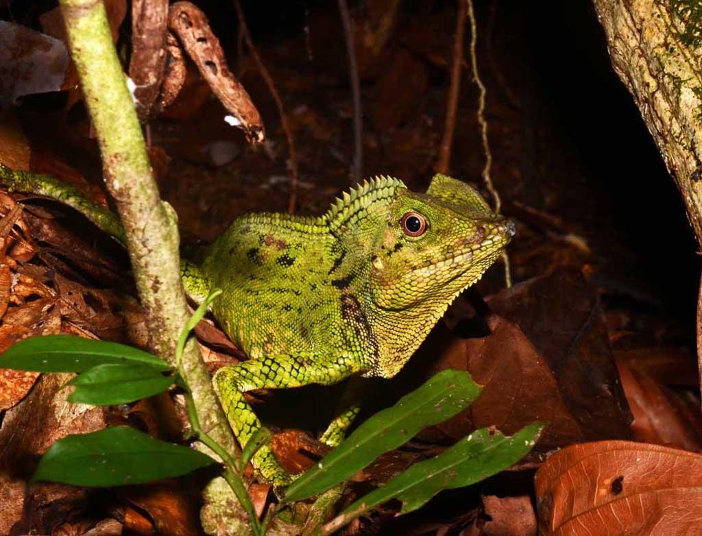 Lizard Gunung Gading
