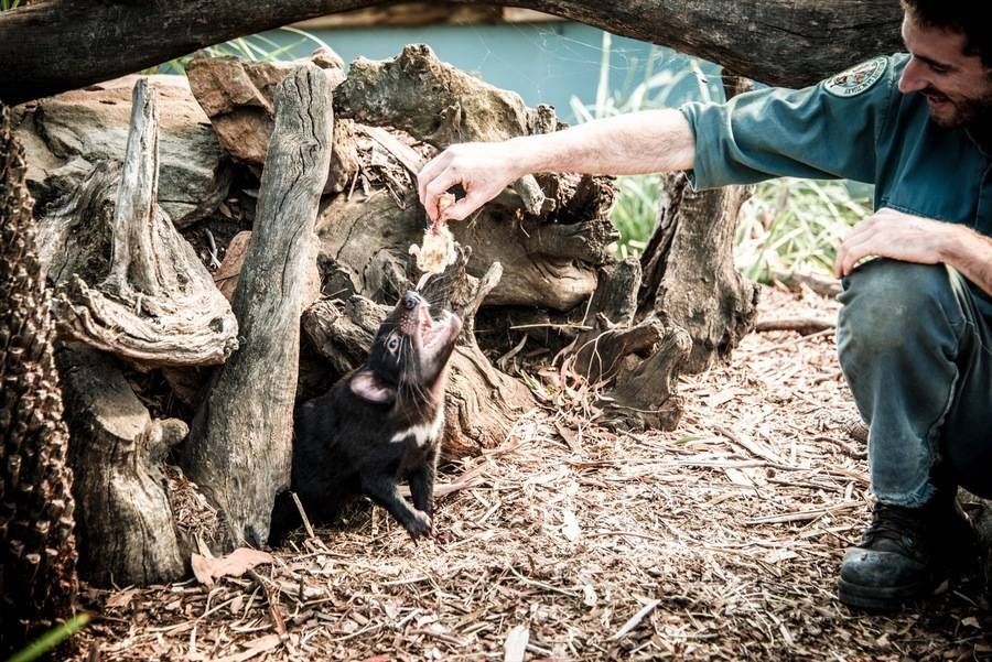 Keeper feeds Tasmanian devils