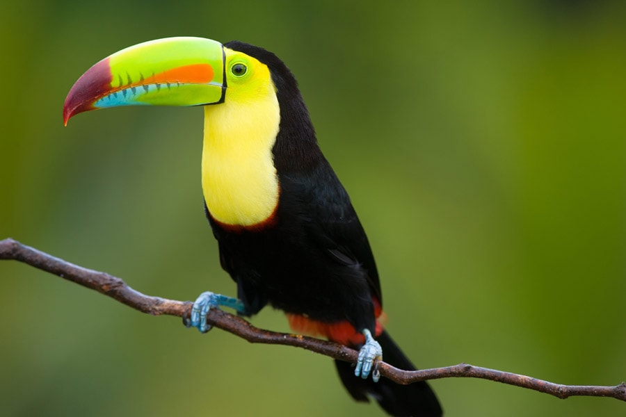 see colourful toucans in costa rica. image intrepid travel