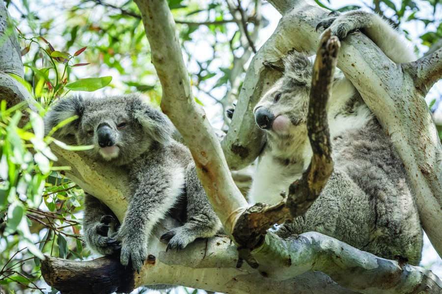see sleepy koalas on raymond island. image visit victoria