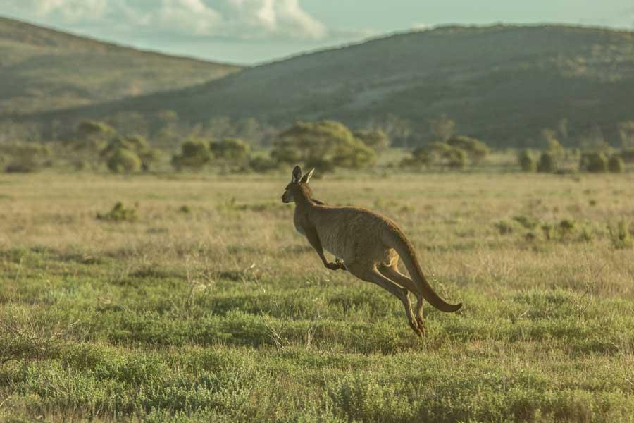 a kangaroo hopping through south australias gawler ranges. image tourism australia greg snell