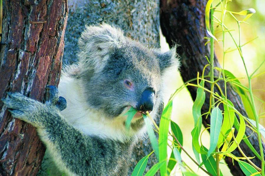 a koala in yanchep national park. image tourism western australia