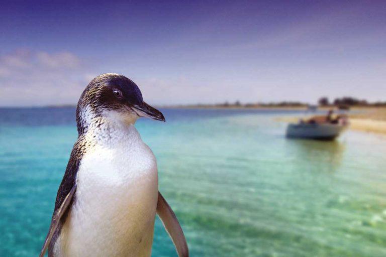 feature meet the wildlife on penguin island. image perth wildlife encounters