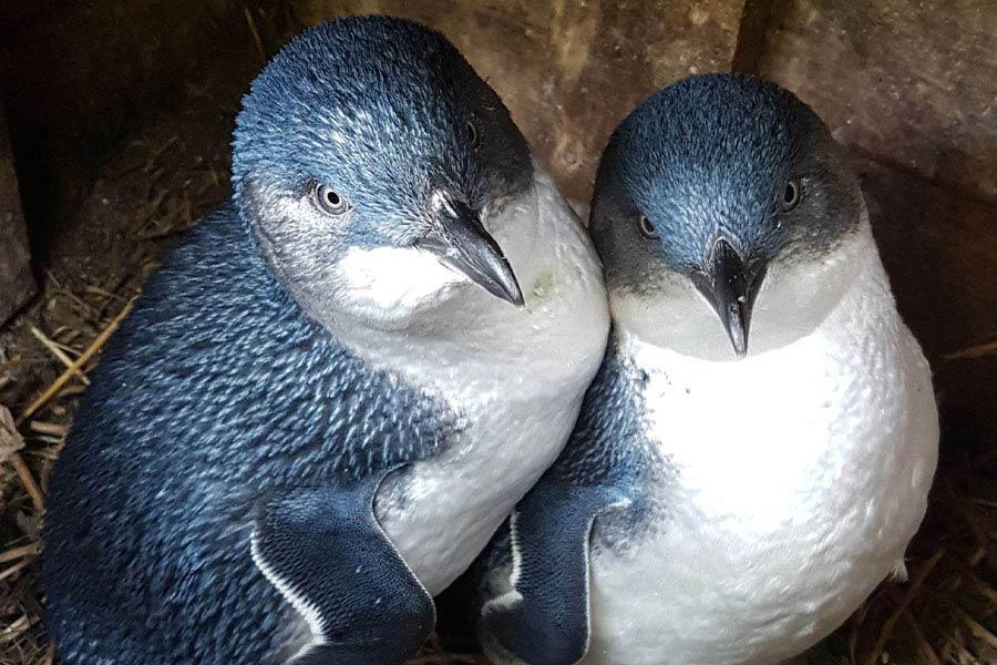 philip island penguin parade1