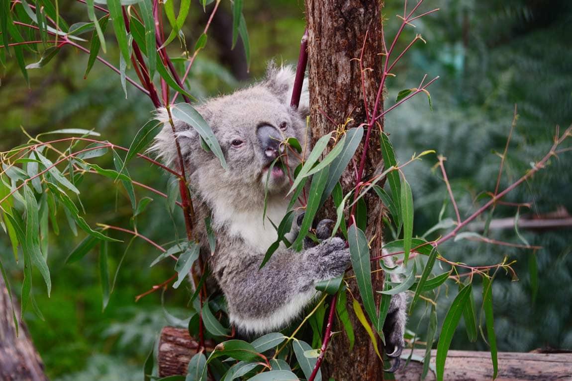 phillip island koala conservation park1