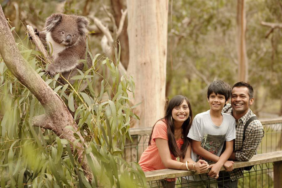 phillip island koala conservation park3