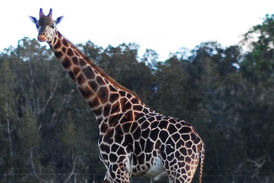 a giraffe at mogo wildlife park. image eurobodalla coast tourism