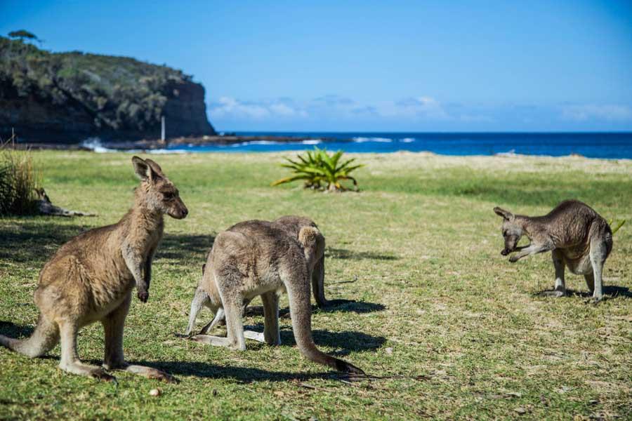 kangaroos grazing at pebbly beach in murramarang national park. image destination nsw
