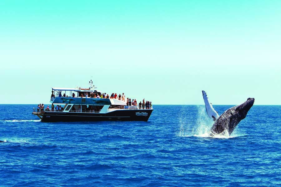 a humpback whale breaching beside a tourist boat in hervey bay. image tourism and events queensland vince valitutti