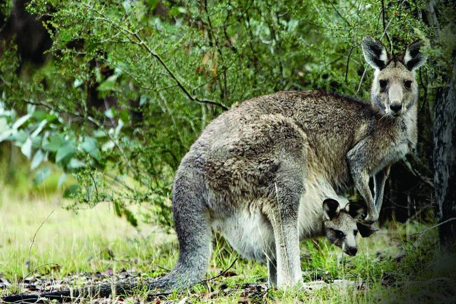 a kangaroo and her joey at tidbinbilla nature reserve. image visitcanberra