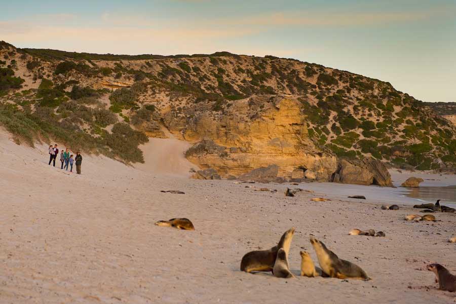 seal bay conservation park on kangaroo island. image south australian tourism commission