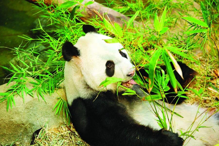 see a panda at river safari