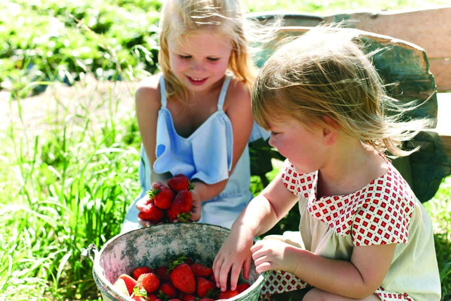 strawberry picking at beerenberg farm in the adelaide hills. image south australian tourism commission