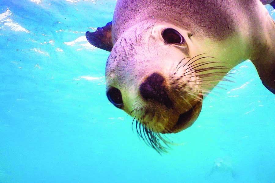 swim with sea lions at baird bay on the eyre peninsula. image david edgar