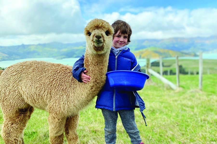 a boy with fendi the alpaca at shamarra alpacas in new zealand