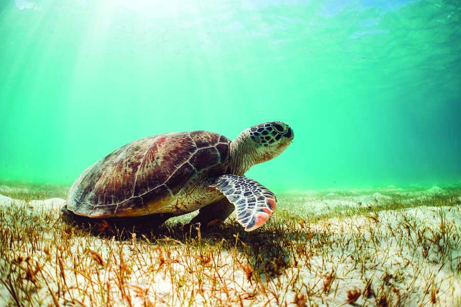 a turtle swimming off the queensland coast. image tourism and events queensland - Fitzroy Island Resort's new Junior Marine Biologist program