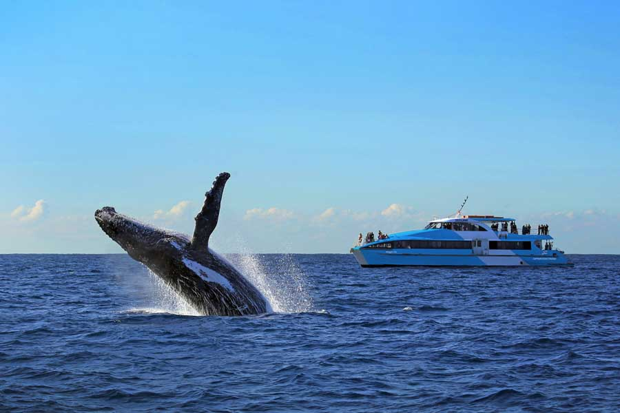 a whale breaching in front of a captain cook cruises sydney whale watching boat