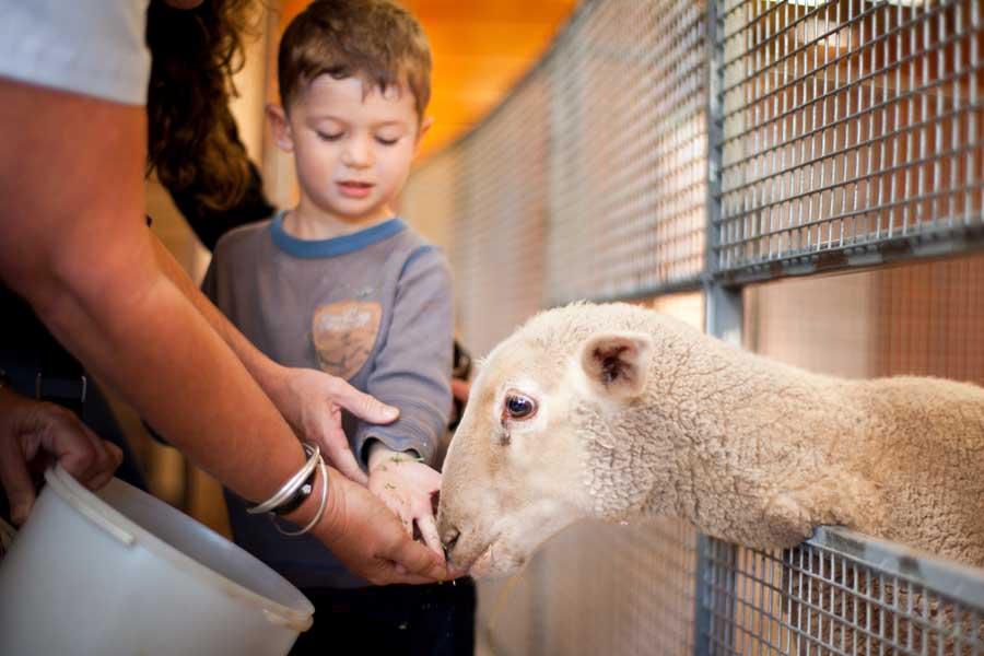 feeding a sheep on churchill island. image visit victoria