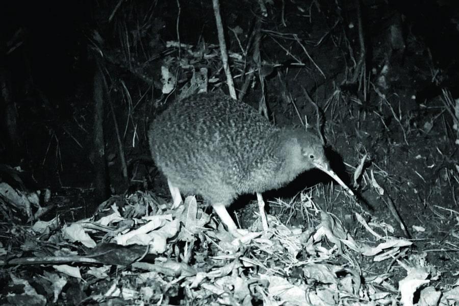 little spotted kiwi at zealandia night tour, new zealand. image jo moore