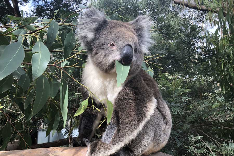 see adorable wildlife at the koala conservation centre