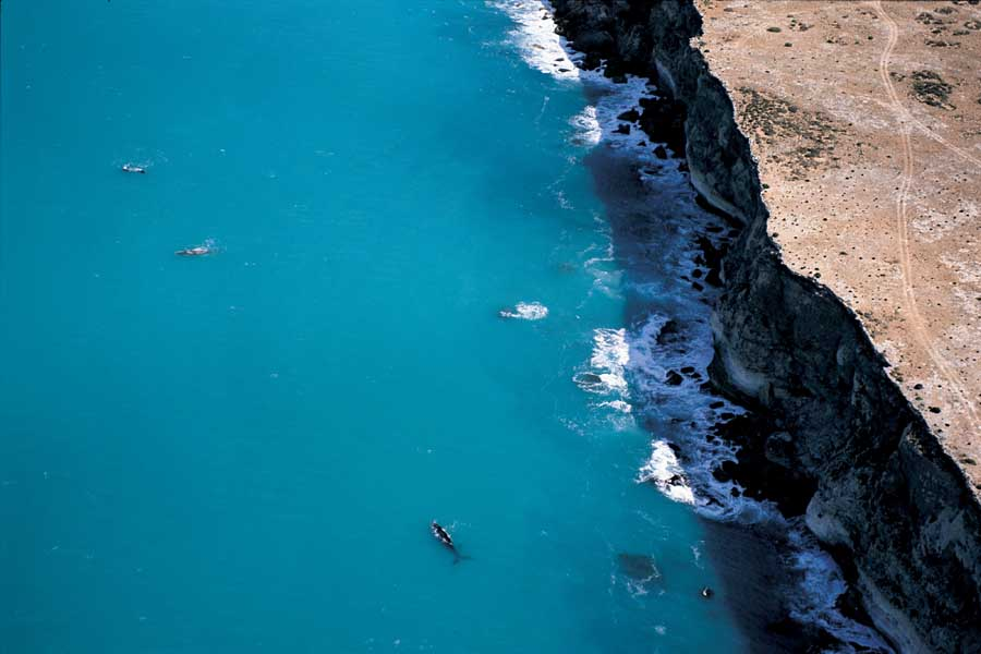 southern right whales off the head of bight on the eyre peninsula. image south australian tourism commission adam bruzzone