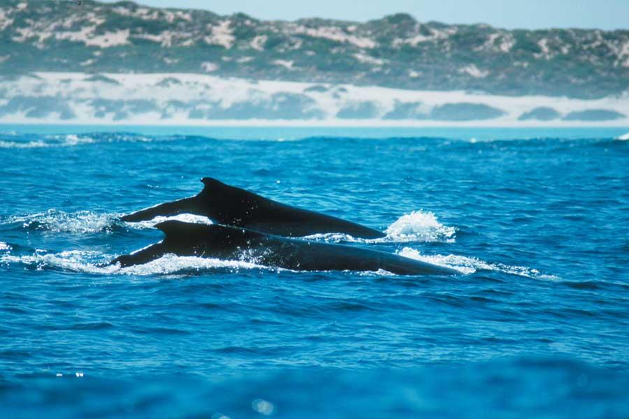 whales at ningaloo marine park. image tourism western australia
